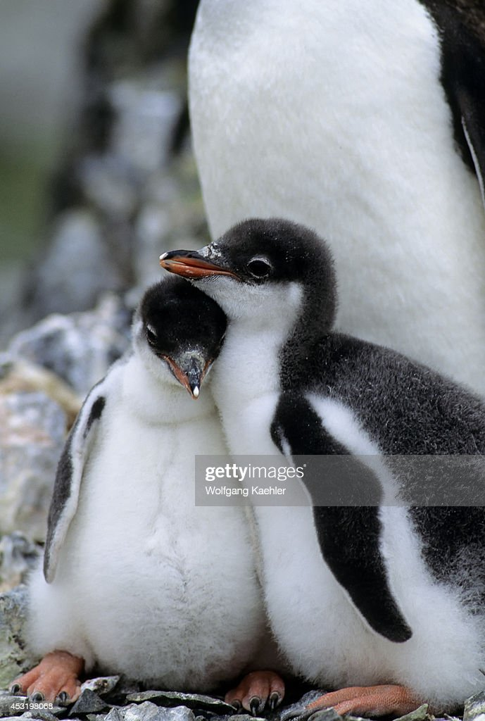 Antarctica, Livingston Island Hannah Point, Gentoo Penguin... : News Photo
