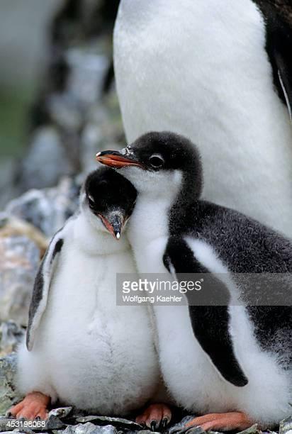 Antarctica Livingston Island Hannah Point Gentoo Penguin Chicks