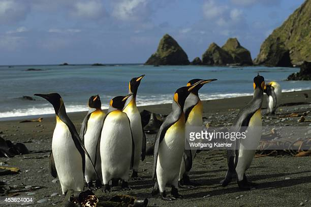 Antarctica Macquarie Island King Penguins On Beach