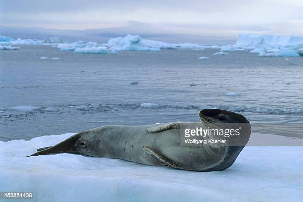 Antarctica, Near Brown Bluff, Leopard Seal On Icefloe.