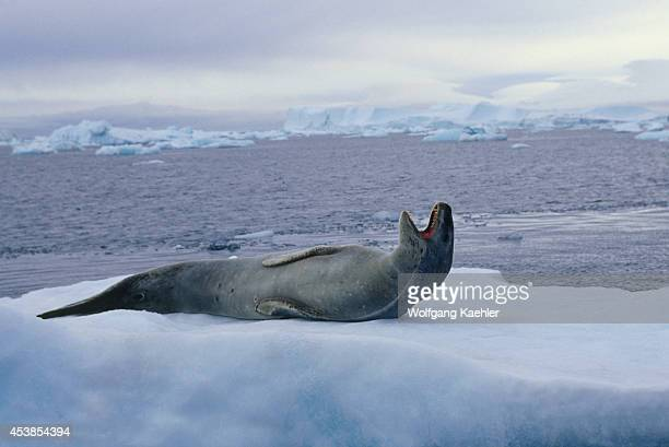 Antarctica, Near Brown Bluff, Leopard Seal On Icefloe, Yawning.