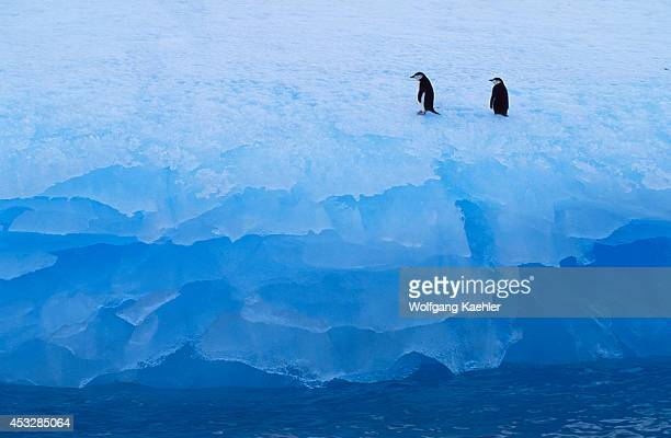 Antarctica Near Elephant Island Chinstrap Penguins On Iceberg