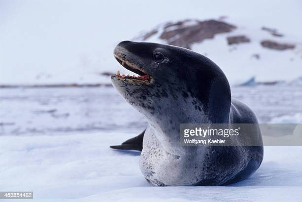 Antarctica, Neko Harbor, Leopard Seal On Icefloe.