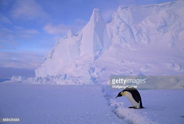 Antarctica Riiserlarsen Ice Shelf Emperor Penguin Crossing Crack In Ice