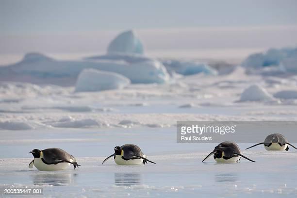Antarctica, Snow Hill Island, emperor penguins lying on ice