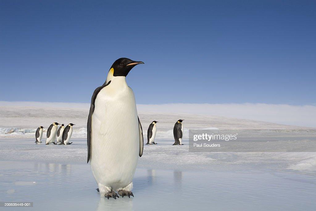 Antarctica, Snow Hill Island, emperor penguins on ice : Stock Photo