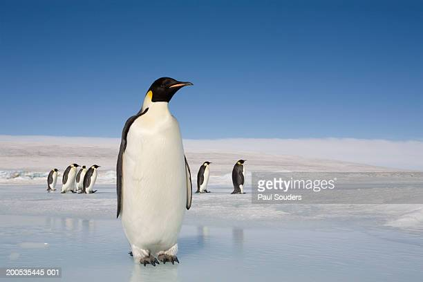 antarctica, snow hill island, emperor penguins on ice - pinguïn stockfoto's en -beelden