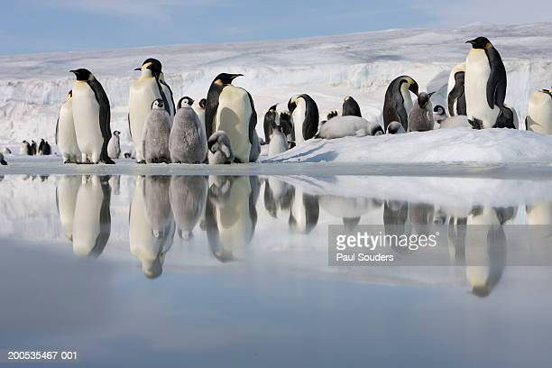 Antarctica, Snow Hill Island, emperor penguins on ice
