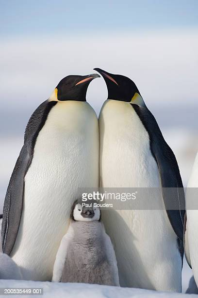 antarctica, snow hill island, two emperor penguins with chick - emperor penguin chick stock pictures, royalty-free photos & images