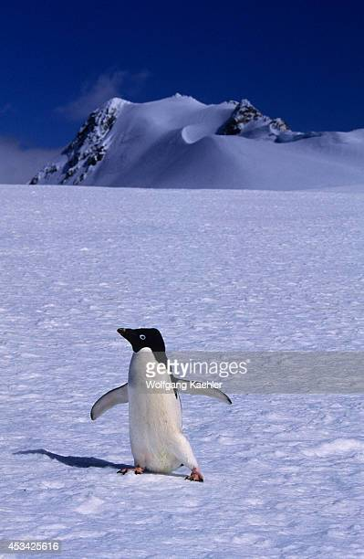 Antarctica, So. Orkney Is., Laurie Is., Adelie Penguin Walking On Snow.