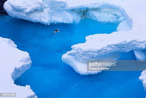 Antarctica, South Orkney Island, Antarctic Petrel In Flight Over Pack Ice.