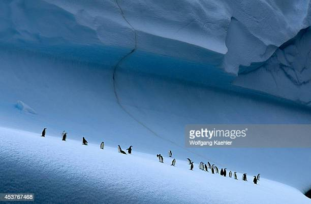 Antarctica, South Orkney Islands, Chinstrap Penguins On Iceberg.
