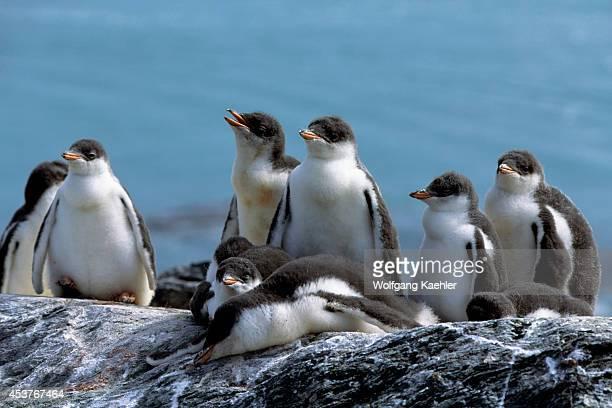 Antarctica, South Orkney Islands, Gentoo Penguin Chicks In Kindergarden.