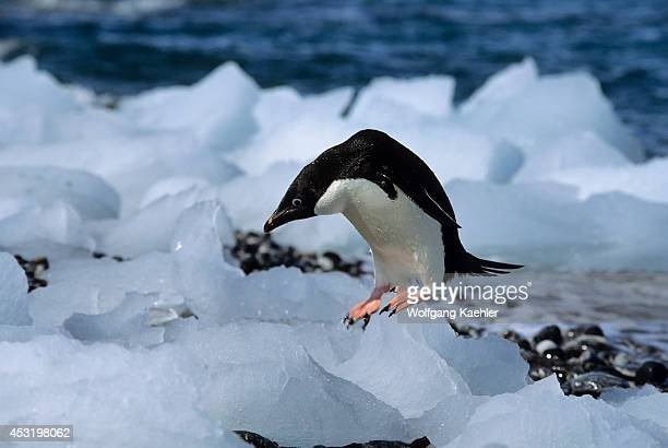 Antarctica, South Orkney Islands, Ice Pebbles On Beach, Adelie Penguin.
