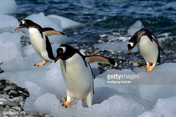 Antarctica, South Orkney Islands, Ice Pebbles On Beach, Gentoo Penguins.