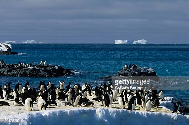 Antarctica, South Orkney Islands, Laurie Island, Adelie Penguins Getting Ready To Go To Sea To Feed.