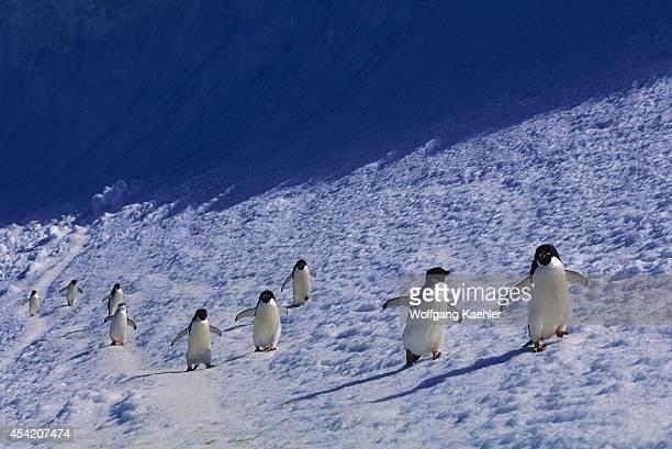 Antarctica, South Orkney Islands, Laurie Island, Adelie Penguins & Chinstrap Penguin Walking Along Snowbank.