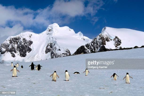 Antarctica, South Orkney Islands, Laurie Island, Adelie Penguins Walking On Snow, Returning From Sea.