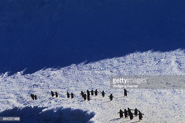 Antarctica, South Orkney Islands, Laurie Island, Adelie Penguins Walking Along Snowbank.