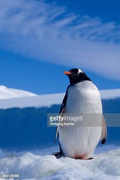 Antarctica, South Orkney Islands, Laurie Island, Gentoo Penguin.