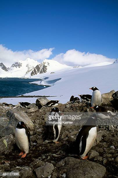 Antarctica, South Orkney Islands, Laurie Island, Gentoo Penguins Incubating.