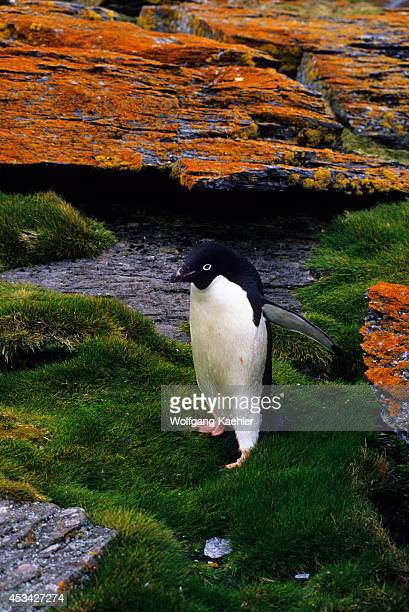 Antarctica, South Orkney Islands, Shingle Cove, Adelie Penguin Walking On Grass.