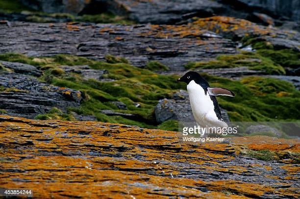 Antarctica, South Orkney Islands, Shingle Cove, Adelie Penguin Walking On Lichen Covered Rock.