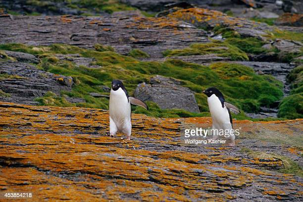 Antarctica, South Orkney Islands, Shingle Cove, Adelie Penguins Walking Over Lichen Covered Rock.