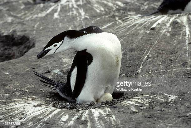Antarctica South Shetland Is Deception Island Chinstrap Penguin Colony Chinstrap Penguin On Eggs
