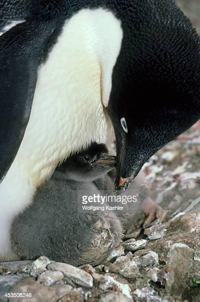 Antarctica, South Shetland Is King George Island, Lion's Rump, Adelie Penguin Feeding Chick.