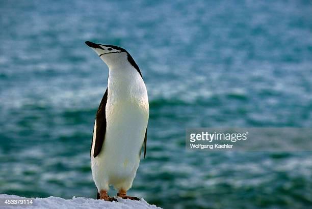 Antarctica, South Shetland Is Penguin Island, Chinstrap Penguin.