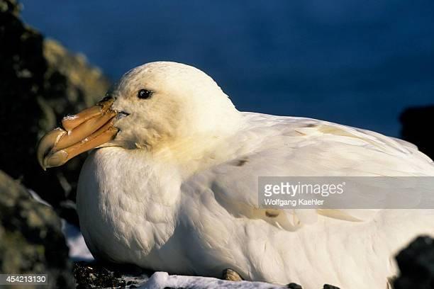 Antarctica South Shetland Is Penguin Island Giant Petrel Incubating