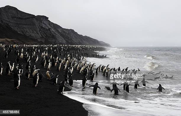Antarctica, South Shetland Islands, Deception Island, Bailey Head, Chinstrap Penguins On Black Lava Beach, Going In And Out Of Sea.