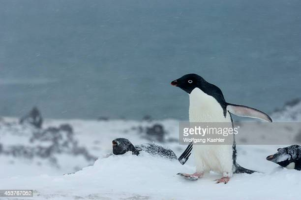 Antarctica South Shetland Islands King George Island Turret Point Adelie Penguin Colony In Stormy Weather Adelie Penguins Covered With Snow Penguin...