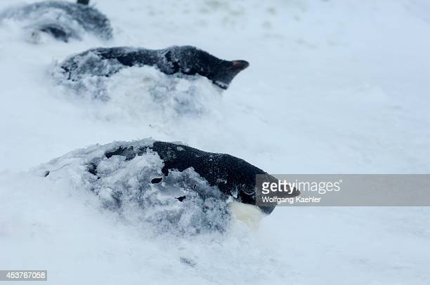 Antarctica, South Shetland Islands, King George Island, Turret Point, Adelie Penguin Colony In Stormy Weather, Adelie Penguins Covered With Snow.