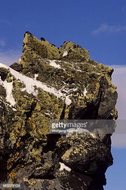 Antarctica, South Shetland Islands, Penguin Island, Lichens On Rock After Snowfall.