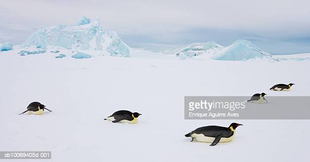 antarctica, weddell sea, five emperor penguins (aptenodytes forsteri) in snow - antarctic ocean stock pictures, royalty-free photos & images
