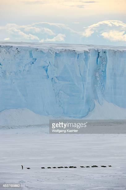 Antarctica Weddell Sea Near Snow Hill Island Emperor Penguins Aptenodytes forsteri On Sea Ice In Front Of Tabular Iceberg On The Way To Open Water...