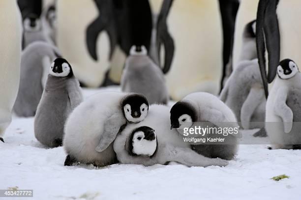 Antarctica Weddell Sea Snow Hill Island Emperor Penguin Colony Aptenodytes forsteri Group Of Chicks