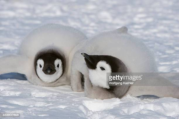 Antarctica Weddell Sea Snow Hill Island Emperor Penguin Colony Aptenodytes forsteri Chicks On Ice