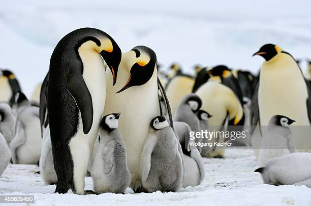 Antarctica Weddell Sea Snow Hill Island Emperor Penguin Colony Aptenodytes forsteri Adults With Chicks On Fast Ice