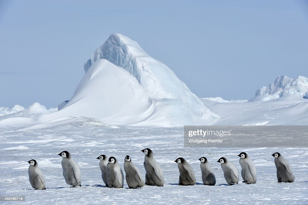 Antarctica, Weddell Sea, Snow Hill Island, Emperor Penguin... : News Photo
