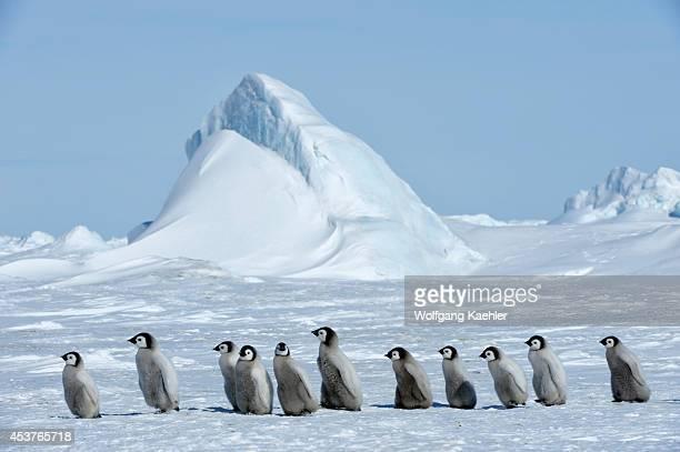 Antarctica Weddell Sea Snow Hill Island Emperor Penguin Colony Aptenodytes forsteri Group Ofchicks Walking On Fast Ice