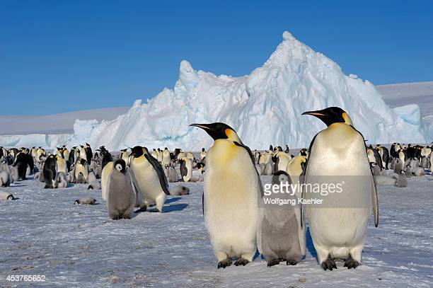 Antarctica Weddell Sea Snow Hill Island Emperor Penguin Colony Aptenodytes forsteri With Chicks Adults With Chick In Foreground