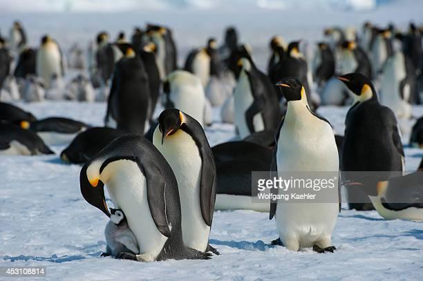 Antarctica, Weddell Sea, Snow Hill Island, Emperor Penguins Aptenodytes forsteri, Adult Penguins Trying To Kidnap Chick.