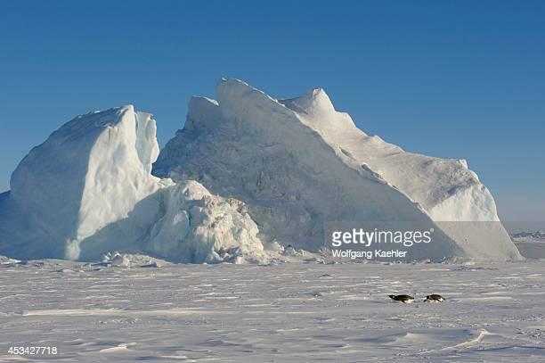 Antarctica Weddell Sea Snow Hill Island Emperor Penguins Aptenodytes forsteri Tobboganing On Fast Ice