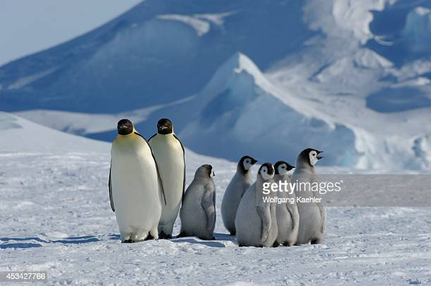 Antarctica Weddell Sea Snow Hill Island Emperor Penguins Aptenodytes forsteri Adults With Chicks On Fast Ice
