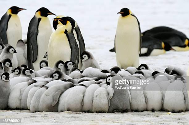 Antarctica Weddell Sea Snow Hill Island Emperor Penguins Aptenodytes forsteri Colony Chicks Huddling To Keep Warm