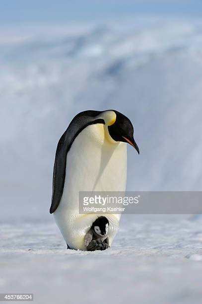 Antarctica Weddell Sea Snow Hill Island Emperor Penguins Aptenodytes forsteri Adult With Chick On Feet