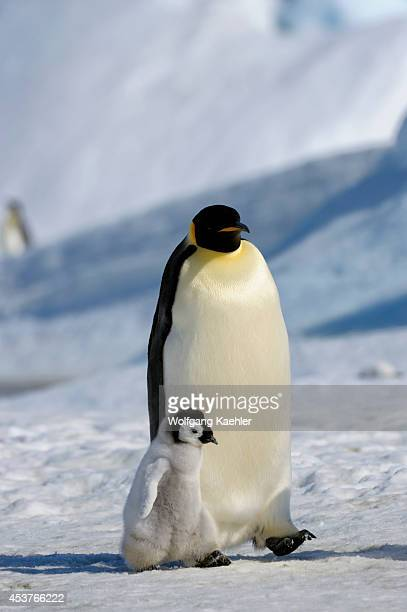 Antarctica Weddell Sea Snow Hill Island Emperor Penguins Aptenodytes forsteri Adult With Chick Walking Over Ice